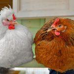 Как вытопить куриный жир в домашних условиях