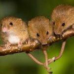 Как мыши готовятся к зиме